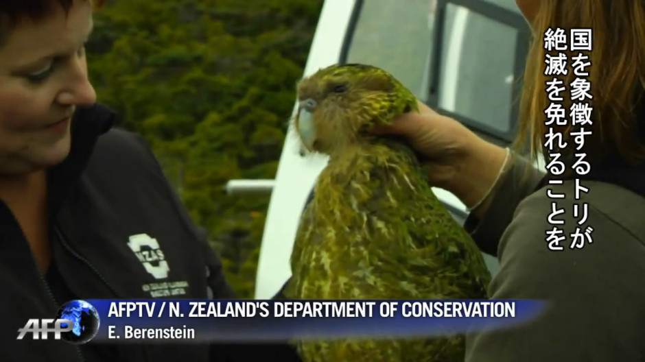 NZ発、飛べないオウムに絶滅回避の兆し